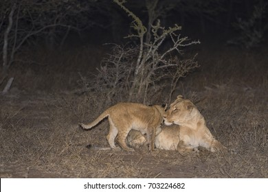 Lioness and Cubs playing ay night
