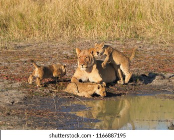 Lioness and Cubs, Savuti Marsh, Botswana