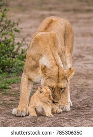 Lioness with cubs in the Serengeti National Park. Africa. Tanzania. Serengeti National Park.