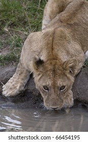 A lioness drinks water in a small watering hole in Kenya.