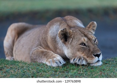 Lioness early in the morning, Serengeti, Tanzania