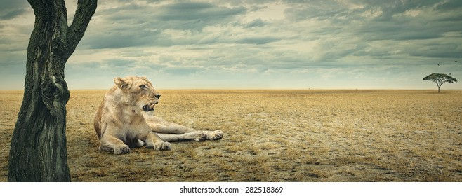 Lioness enjoying a rest in the shade of a tree on the african plains
