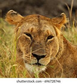 Lioness in the evening light, Masai Mara
