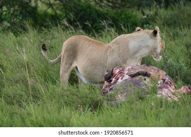 Lioness feeding off of a dead carcass on hot summer's day in Southern Africa