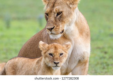 Lioness with its female cub, standing together, side by side, one head under the other, facing the camera, Close-up, Ngorongoro Conservation Area, Tanzania