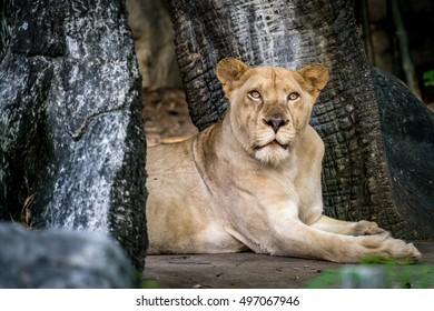 Lioness, Female lion