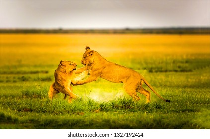 Lioness fight in nature. Lioness games. Lioness nature games. Fighting lioness view