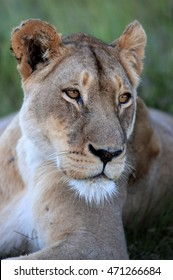 A lioness focusing in black and white. South Africa