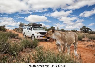 lioness in front of a 4x4 safari car crossing a dirt road in Kalahari desert, Kgalagadi Transfrontier Park, Botswana, Africa