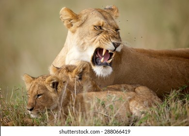 Lioness growling will looking after two cubs