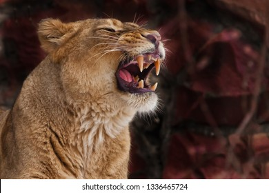 a lioness growls, baring her teeth - the face of a lioness close up on a dark red background, an evil predatory lioness