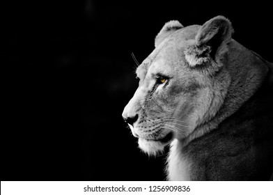 Lioness head black and white