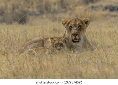lioness and her cub in african safari
