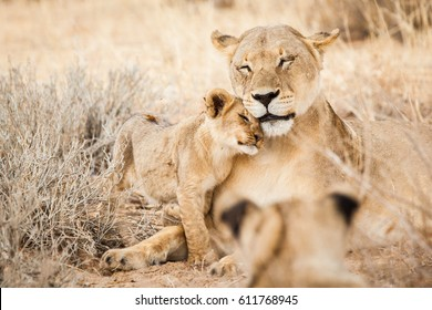 Lioness and her cub cuddling in Kgalagadi National Park