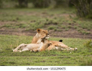 Lioness and her cub, cub loving her mother, Masai Mara
