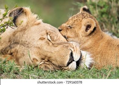 Lioness and her cub sleeping, Masai Mara