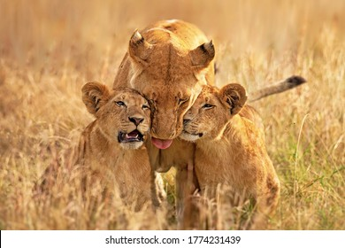 Lioness with her cubs clicked from masai mara