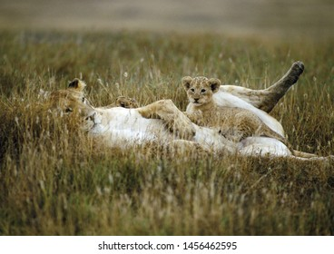 a lioness with her cubs in Masai Mara, Kenya
