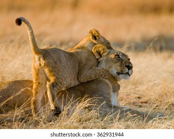Lioness and her cubs playing with each other in savannah. National Park. Kenya. Tanzania. Masai Mara. Serengeti. An excellent illustration.
