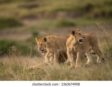 Lioness and her cubs in the Savannah, Masai Mara