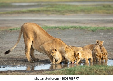 Lioness and her small lion cubs drinking water from a puddle in Ndutu in Tanzania
