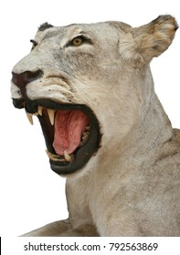 lioness hunting trophy objects isolated taxidermy