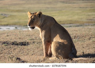lioness just sitting and watching