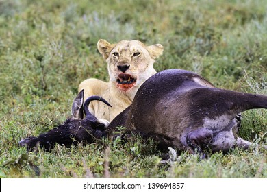 Lioness kill on the lookout after her fresh kill of a wildebeest on the Serengeti Park, looking at camera