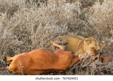 Lioness killing an antelope after hunting her down. Only the strongest survives, remembering how hard is the life in the savannah.