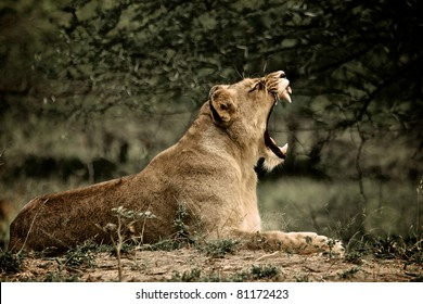 Lioness at Kruger National Park, South Africa