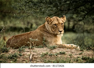 Lioness in Kruger National Park, South Africa