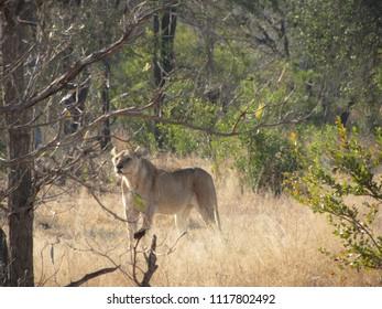 lioness in Kruger park