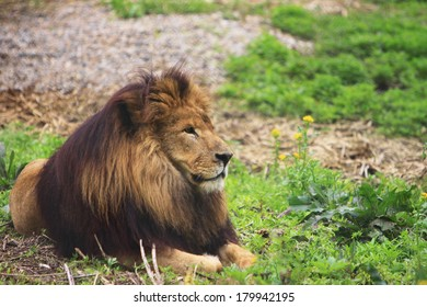 lioness laying on grass