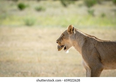 Lioness with a Leopard tortoise in the mouth in the Kalagadi Transfrontier Park, South Africa.