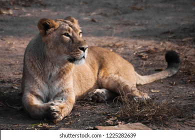 The lioness lies, but carefully looks. The lioness is a strong and beautiful animal, demonstrates emotions.