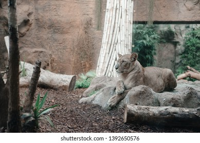 The lioness lies on the stones. Beautiful blonde lioness looks into the distance. Lady lioness