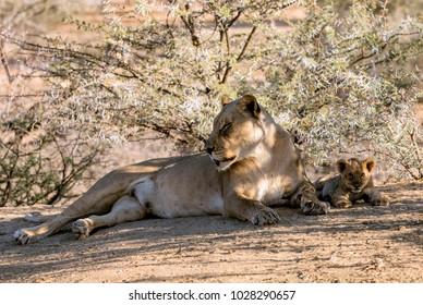 The lioness and lion cub in  Etosha National Park, Namibia