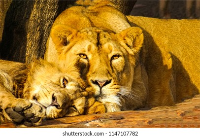 Lioness with lion cub portrait. Lioness and cub. Cute scene lioness with cub
