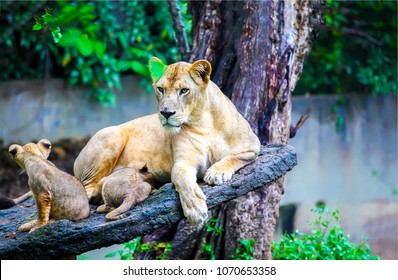 Lioness with lion cubs on tree in zoo. Lioness with cubs rest. Lioness and cubs
