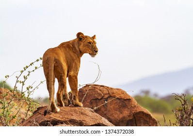 Lioness lion panthera leo stands standing on rock rocks intense serious look profile. Rear view body legs paws.  copy space sky landscape in distance. Samburu National Reserve Kenya East Africa wild