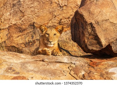 Lioness lion portrait, panthera leo, facing forward, hiding on rock rocks camouflaged. Head face claws eyes copy space. Samburu National Reserve, Kenya, East Africa. Safari big five cat