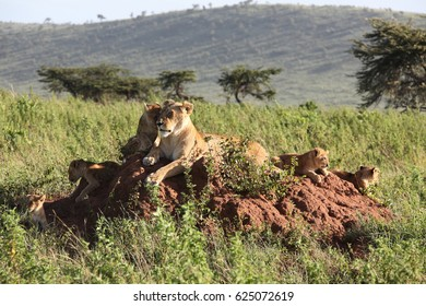 lioness look on her lionets