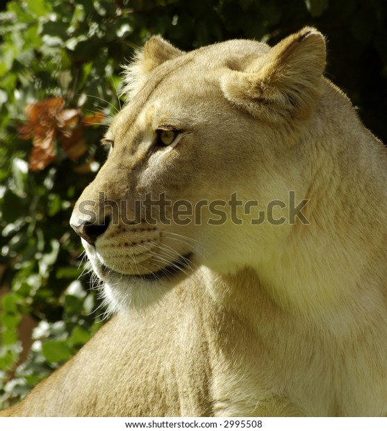 Lioness looking to the left.