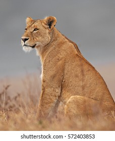 A lioness, looking like a regal and patient queen, waits for her companions at the rim of the Ngorongoro Crater in Tanzania, Africa, while the gray clouds behind her announce an approaching storm.