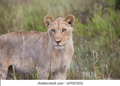 Lioness looking on from the savannah grasslands