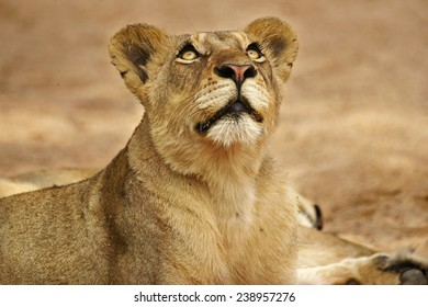 Lioness looking at Vultures