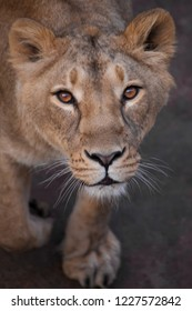 The lioness looks at you, the face of the Livitz and the look.s. lionesses