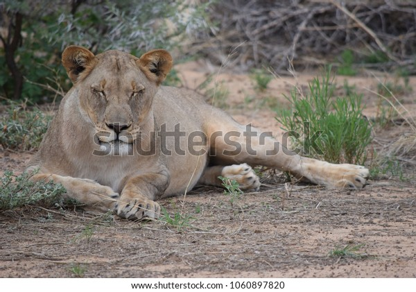 lioness lying at a game reserve in Namibia, Africa