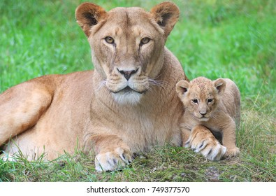 A lioness lying in the grass together with her cub