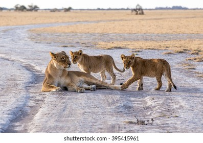 A lioness lying in the gravel road with her two cubs playing around her.